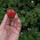 Cueillette de fraises au Champ gallo 🍓